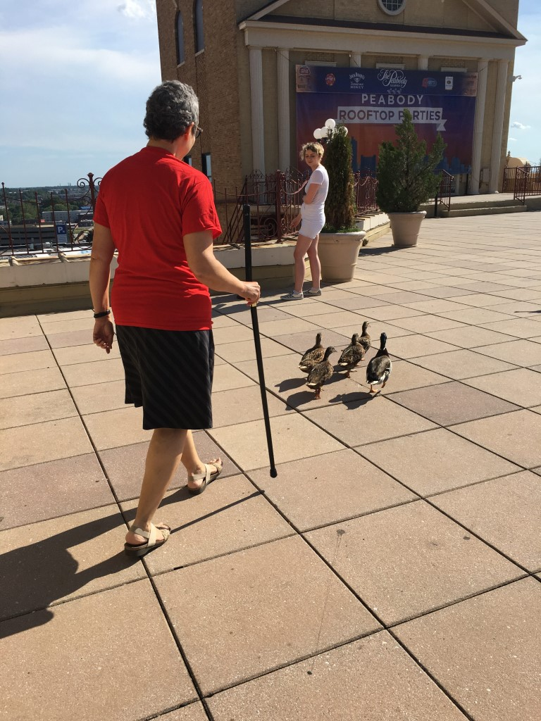 Family of ducks just waddling around town!